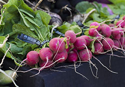 Radishes at SFC Farmers' Market