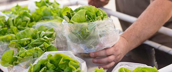 Esperanza Farms Butter lettuce