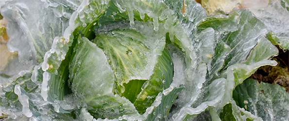 Hat and Heart Farm Frozen Cabbage