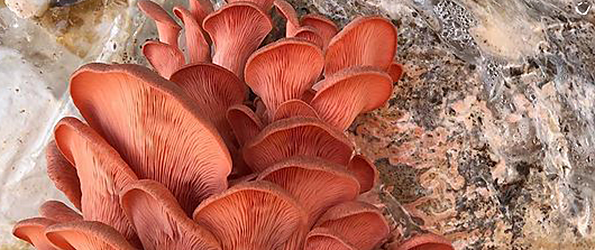 HiFi Mushrooms
