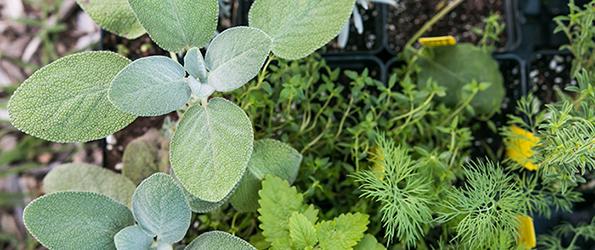 herb transplants